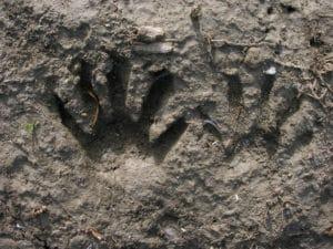 Raccoon track. Photo Credit: Stonebird/Flickr Creative Commons