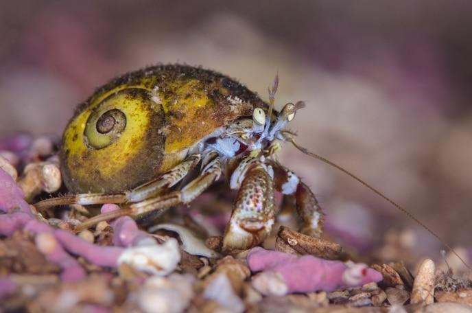 harmit crab