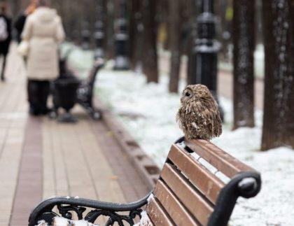city owl