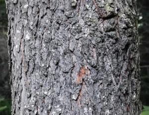Black Cherry Source: https://wildadirondacks.org/trees-of-the-adirondacks-black-cherry-prunus-serotina.html