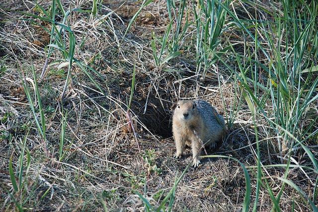 ground squirrel burrow