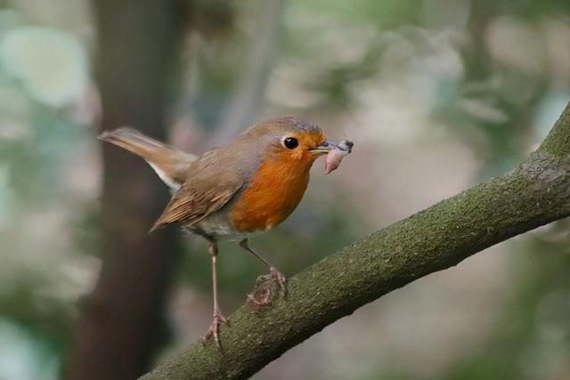Robin foraging