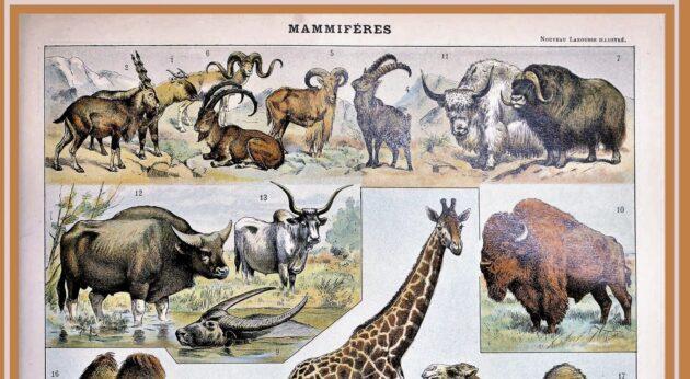 mammal id