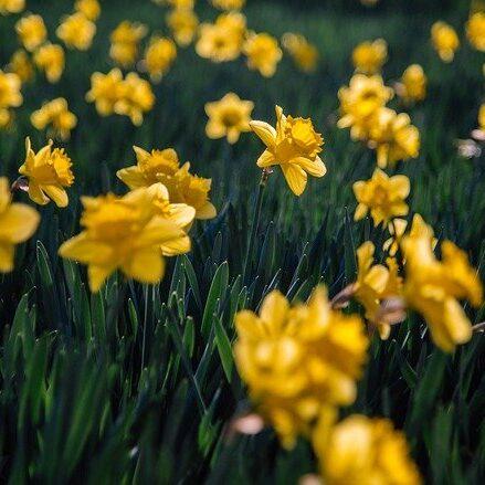 daffodils-6157253_640